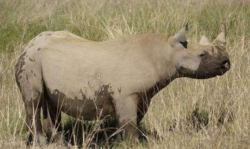 La dura situación del rinoceronte debido a la caza ilegal ha sido bien documentada en TreeHugger, y el rinoceronte negro occidental es un ejemplo gráfico.  El animal, que solía habitar en toda África oeste central, fue declarado extinto en 2011.  A pesar de que los esfuerzos de conservación, que comenzaron en la década de 1930, ayudaron a que la población se recuperara de la caza histórica, en la década de 1980 la protección a las especies disminuyó y la caza ilegal aumentó.  Foto: upsocl
