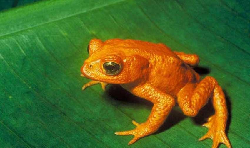 La rana dorada es, de muchas formas, una especie icónica de la extinción.  Solo fue descrita por la ciencia en 1966, y fue una vez abundante en un área de 48 kilómetros cuadrados del bosque nubloso Monteverde, en Costa Rica. Ninguna de las ranas de 60 centímetros ha sido vista desde el 15 de mayo de 1989. La razón para la extinción súbita no se conoce con exactitud, pero la pérdida de hábitat y hongos quítridos son los culpables más probables.Foto: upsocl