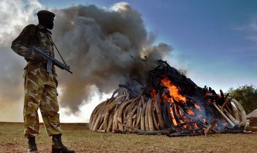 Un oficial ( KWS ) Kenya Wildlife Services coloca cerca de una pila ardiente de 15 toneladas de marfil de elefante incautada en Kenia en el Parque Nacional de Nairobi el 3 de marzo de 2015. AFP