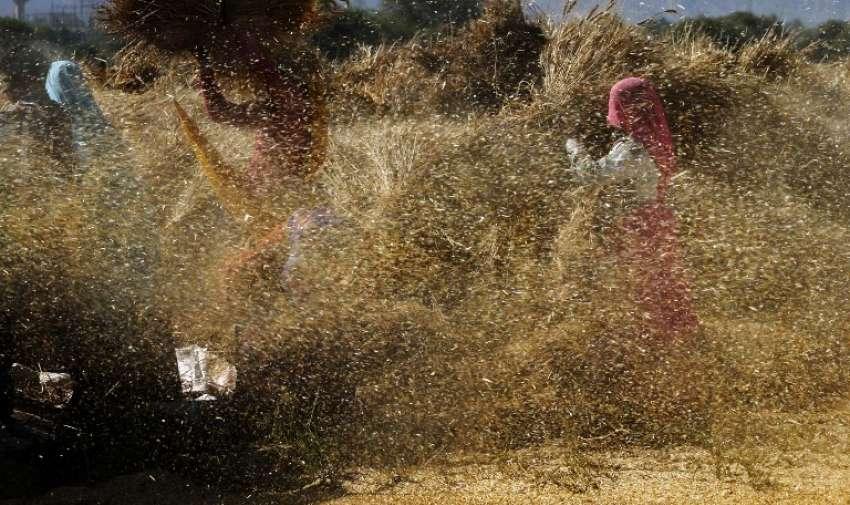 Los agricultores indios trillan la cosecha de trigo cosechado en una aldea en las afueras de Beawar , a unos 184 kms al suroeste de la capital de Jaipur en el estado de Rajastán occidental , el 9 de abril de 2015. AFP