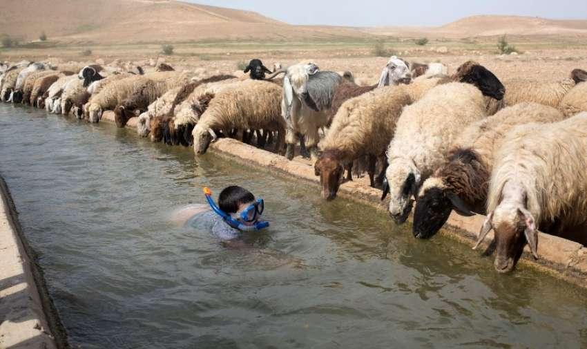 Un niño israelí nada junto a las ovejas que pertenecen a un granjero palestino en la aldea cisjordana de Al- Auja en el Valle del Jordán el 08 de abril 2015 durante la fiesta de la Pascua judía . AFP