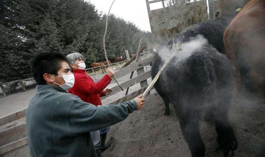 Hombres evacúan ganado, tras la erupción del volcán Calbuco, en la localidad de Ensenada, en la región de Los Lagos, en sur de Chile. EFE