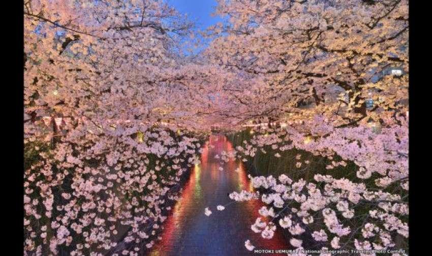 Motoki Uemura celebra el Sakura, el período en que florecen los cerezos del río Megurogawa, en Tokio, Japón. El concurso de National Geographic aceptará fotos hasta el 30 de junio. BBC