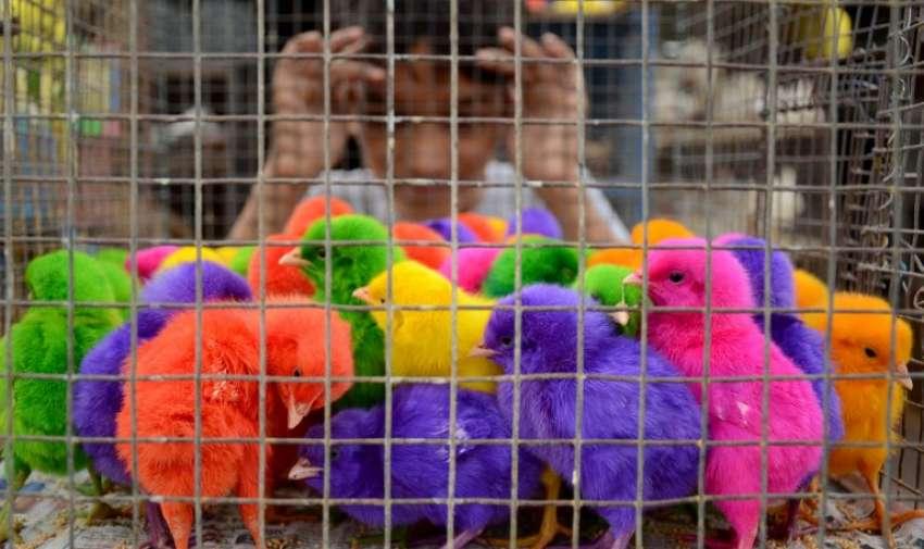 Un niño indio mira pollitos de colores para la venta en 10 rupias indias ( 15 centavos de dólar) cada una a un puesto de carretera en Amritsar el 03 de junio 2015. AFP