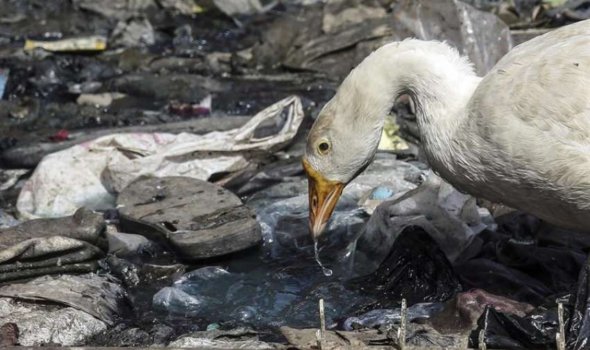 Un pato bebe en un vertedero de Bombay. Foto: EFE