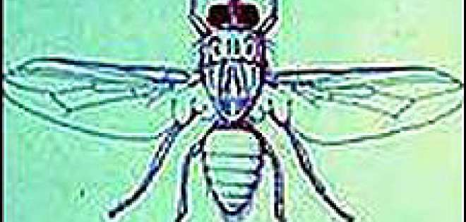 """Una """"vaca artificial"""" que puede eliminar a la mosca Tsé-tsé -que propaga la enfermedad del sueño"""