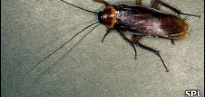 Las cucarachas, más que un riesgo para la salud.