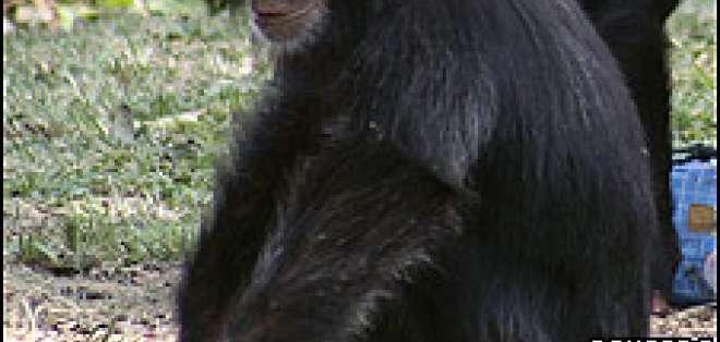 Las trampas de los cazadores son un peligro para los chimpancés salvajes.