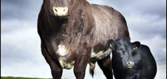 Una vaca cuya baja estatura la salvó del matadero ingresó en el Libro Guinness.