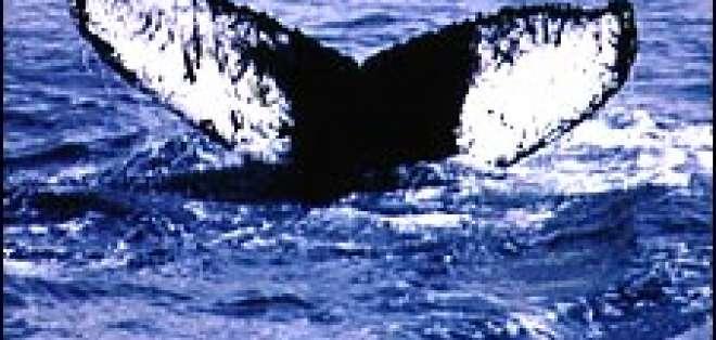 Una ballena jorobada recorrió una distancia de al menos 10.000 kilómetros.