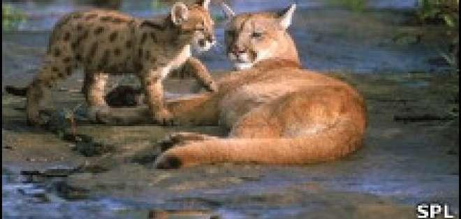 ¿De dónde sacó sus manchas el leopardo?