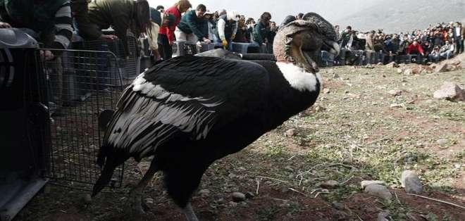 18 cóndores regresan a su hábitat en #Chile recuperados de intoxicación.