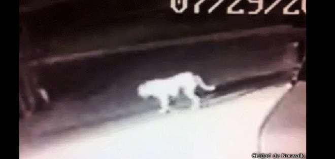 EE.UU.- Las imágenes del supuesto león fueron hechas públicas por las autoridades. Foto: BBCMundo.com