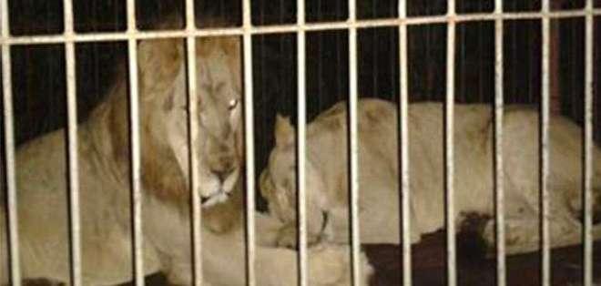Según funcionarios, pertenecían a un circo que no consiguió el permiso para poder mostrar.