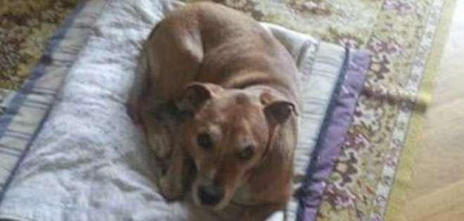 Los perros pueden ser infectados por el virus del ébola y su presunta infección es asintomática. Foto: BBCMundo.com