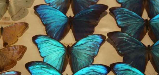 Las capas desordenadas de cristales crean un efecto tornasolado en las mariposas.