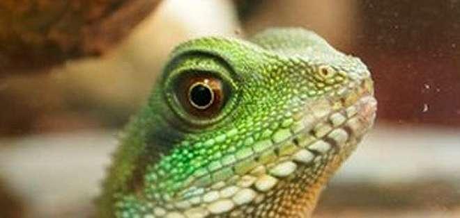 Los lagartos son ahora más populares que los caballos y los ponies como mascotas.