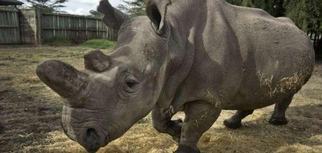 Solo quedan en el mundo 5 ejemplares de rinoceronte blanco del norte. Solo uno es macho.