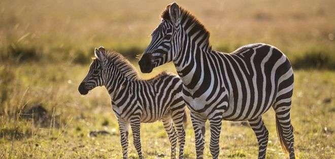 Cuanto más caliente el hábitat, más rayas tienen las cebras.