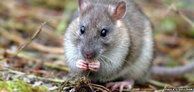 Las ratas llegaron en los barcos de los cazadores de focas y balleneros.