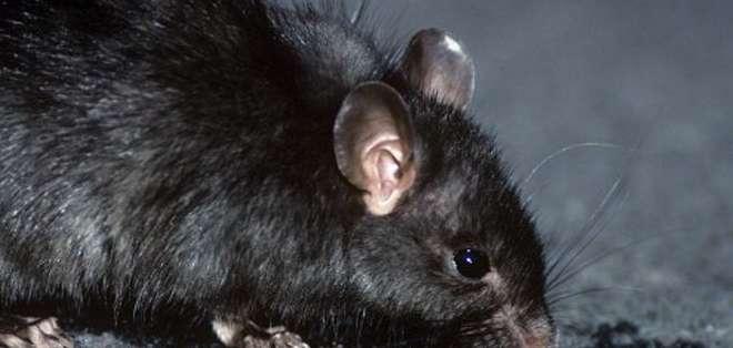 Desde siempre se culpó a la rata negra por los brotes de la peste bubónica en Europa.