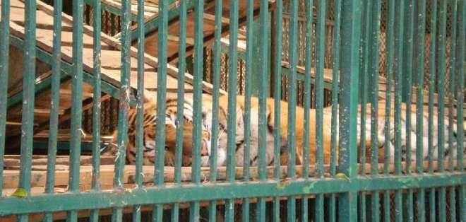 """PUEBLA, México. Las autoridades realizaron un operativo en el que constataron que """"el lugar contaba con diminutas jaulas apiladas en un espacio reducido."""