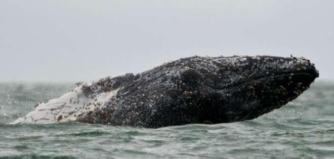 Por primera vez, científicos registraron ataques de orcas a ballenas, específicamente a las jorobadas.