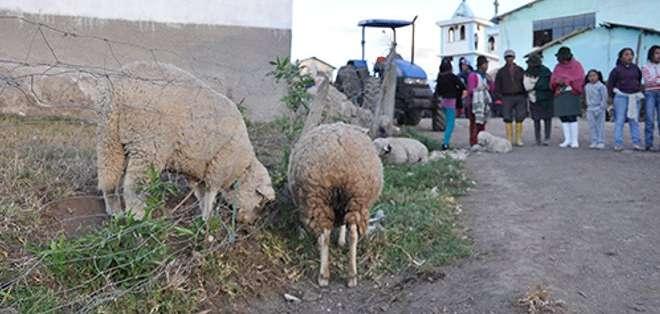 Preocupación por especie desconocida que se come las orejas del ganado