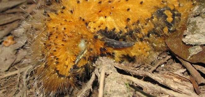COLOMBIA.- En situación de peligro, estos animales muestran unos plumones que los hacen parecer a una oruga. Fotos: EFE