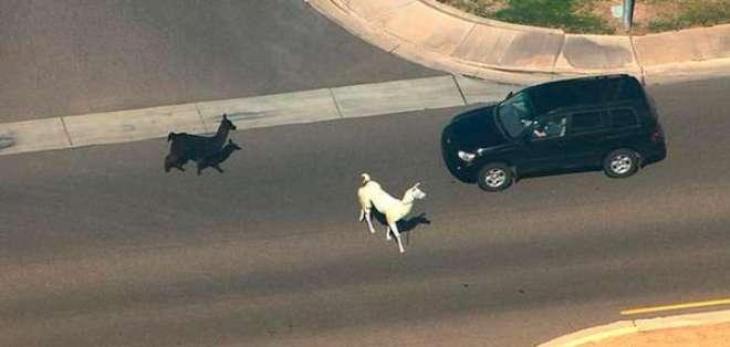 Los animales, uno blanco y otro negro, aparecieron por sorpresa en un barrio residencial en Arizona.