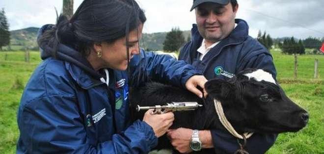 Ecuador ha luchado contra la enfermedad que ataca al ganado bovino desde 1943.