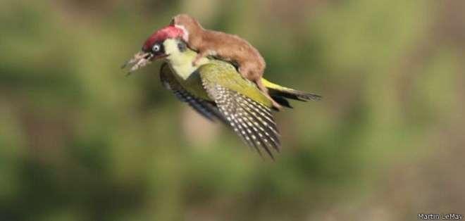 ¿Una nueva forma de volar para la comadreja o un pájaro carpintero intentando escapar de un mamífero depredador?