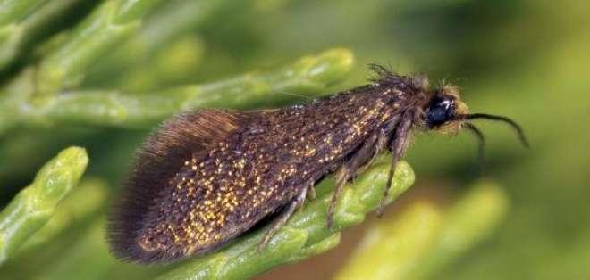 """AUSTRALIA.- El insecto bautizado como """"enigma"""" (mide menos de diez milímetros y tiene alas doradas y moradas. Foto: EFE"""