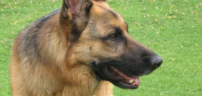 El can, un pastor alemán llamado Frankie, acertó el diagnóstico en el 88,2 por ciento de los casos con solo oler la orina de las 34 personas que participaron en el experimento.