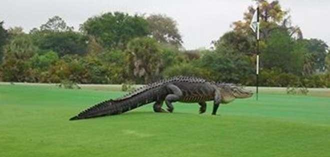 La presencia del cocodrilo ha alejado a los golfistas.
