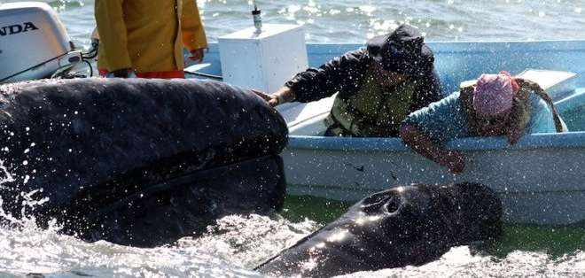 Una mujer canadiense murió y dos turistas más resultaron heridos cuando una ballena golpeó la embarcación. Foto: Archivo
