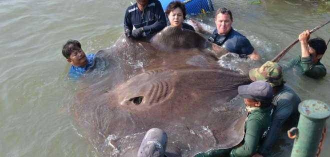 TAILANDIA.- El animal mide más de 4,2 metros de largo y pesa 362 kilos, fue hallado en una playa de Tailandia. Foto: Twitter