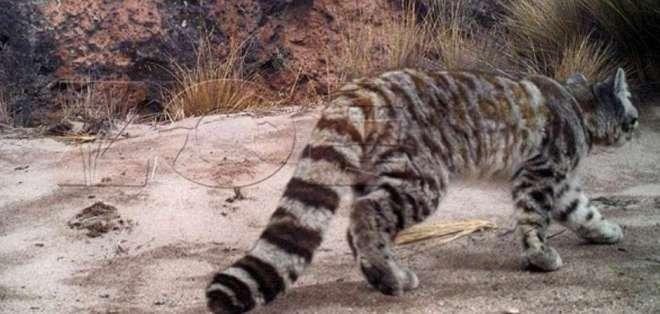 El gato andino es un felino en peligro de extinción.