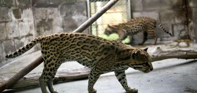 83 reptiles, 53 aves y 13 mamíferos serán llevados a su hábitat natural. Foto: AFP