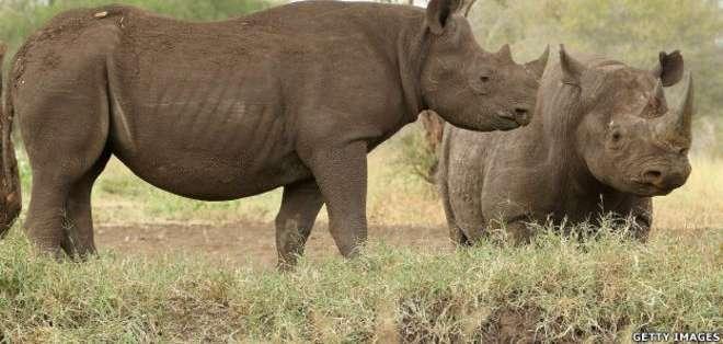El rinoceronte negro será cazado en un safari que se realizará en Texas.