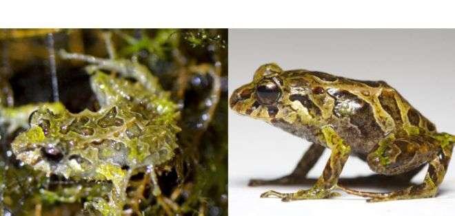 El especimen fue hallado en 2009. Foto: Juan Guayasamin (rugosa), Lucas Bustamante (lisa). Zoological Journal of the Linnean Society.