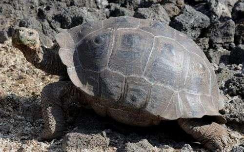 Los investigadores estudiaron el comportamiento de las tortugas durante cuatro años. Foto: Vistazo (Archivo)
