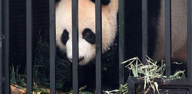 CHINA, Pekín.- El panda estuvo tres meses en tratamiento; otros cuatro pandas ser recuperaron del moquillo. Foto: EFE (Referencial)