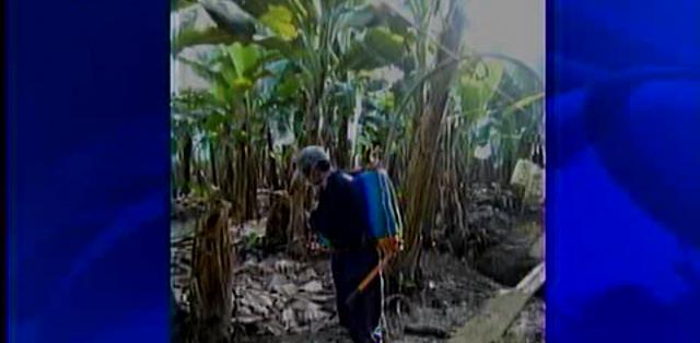 LOS RÍOS.- En Ecuador, agricultores de 14 haciendas bananeras sufrieron los efectos de estos químicos. Fotos: Captura.