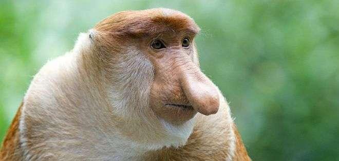 Los monos probóscide solo se encuentran en Borneo.