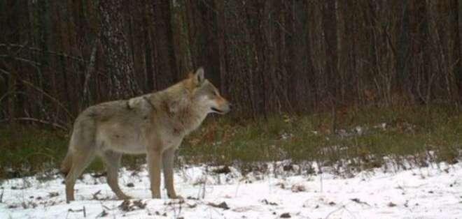 Un lobo gris solitario se toma unos segundos para observar alrededor. La imagen fue tomada por una de las cámaras automáticas instaladas en la zona de exclusión.