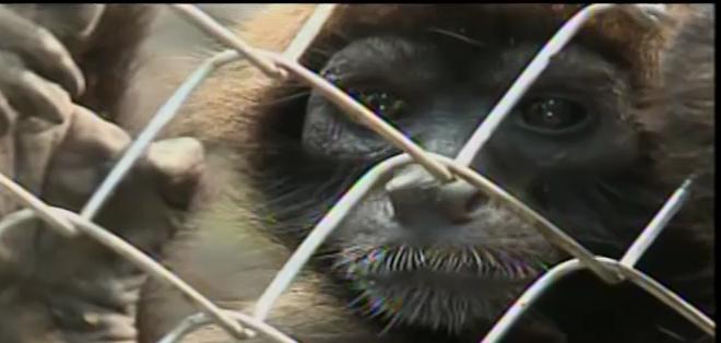 Antes de ser liberados completamente, permanecerán en una gran jaula en el bosque de Mashpi.