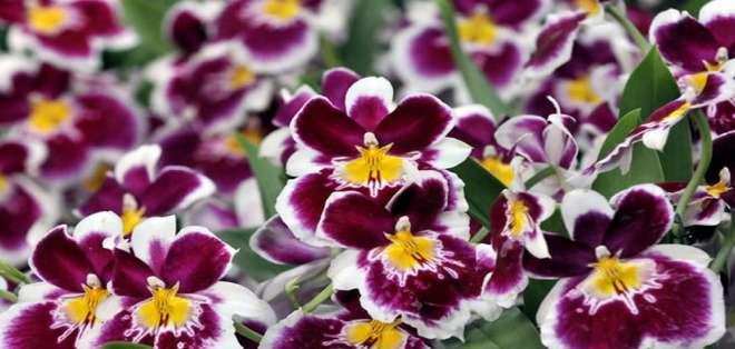 Todas las regiones naturales de Colombia cuentan con orquídeas en sus ecosistemas.