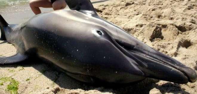 Una cantidad inusualmente alta de delfines que aparecieron varados en las costas del sur de EE.UU.