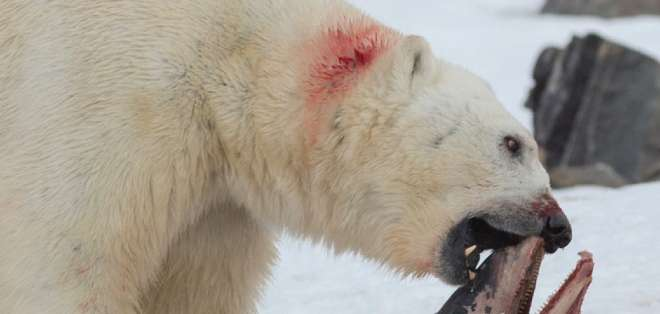 Los osos polares se sirven de agujeros en el hielo marino para cazar focas.